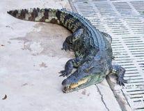 ферма Таиланд крокодила Стоковые Изображения RF