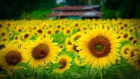 Ферма Таиланд солнцецвета Lopburi стоковое изображение