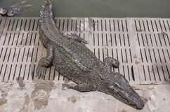 ферма Таиланд крокодила Стоковое Фото