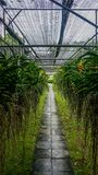 Ферма Таиланд орхидеи Стоковое Фото