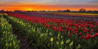 Ферма тюльпана на заходе солнца Стоковое Изображение
