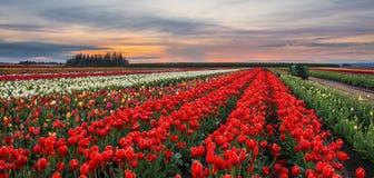 Ферма тюльпана на заходе солнца Стоковая Фотография