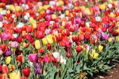 Ферма тюльпана Стоковое Изображение RF