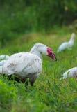 Ферма 2 утки белая Стоковые Изображения RF