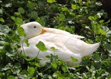 Ферма утки спать белая стоковая фотография rf