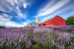 Ферма холма лаванды Стоковая Фотография RF