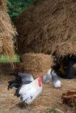 ферма цыпленка стоковое изображение