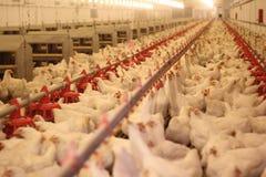 ферма цыпленка Стоковая Фотография