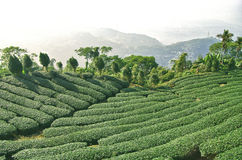 Ферма чая Стоковое Изображение