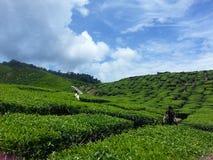 Ферма чая Стоковые Изображения