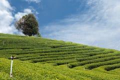 Ферма чая Стоковые Изображения RF