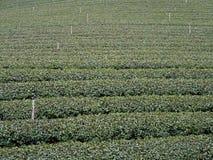 Ферма чая Стоковые Фотографии RF
