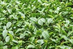 Ферма чая, alishan гора Стоковые Изображения