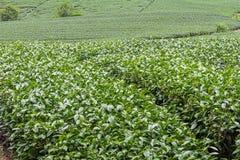 Ферма чая, alishan гора Стоковые Изображения RF
