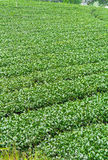 Ферма чая, alishan гора Стоковая Фотография RF