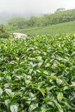 Ферма чая, alishan держатель, Тайвань Стоковое фото RF