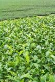 Ферма чая, alishan держатель, Тайвань Стоковые Изображения