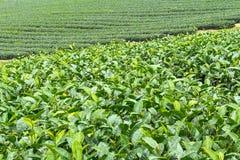 Ферма чая, alishan держатель, Тайвань Стоковая Фотография RF