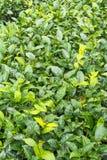 Ферма чая, alishan держатель, Тайвань Стоковое Изображение RF