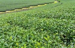 Ферма чая, alishan держатель, Тайвань Стоковое Фото