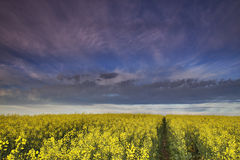 ферма canola Стоковые Фото