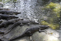 Ферма Crocodil стоковое изображение rf