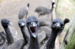 ферма emu Стоковая Фотография