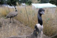 ферма emu Стоковое фото RF