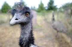 ферма emu Стоковое Изображение RF