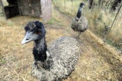 ферма emu Стоковые Фотографии RF