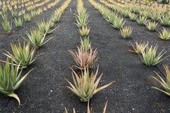 ферма vera алоэ Стоковое Фото