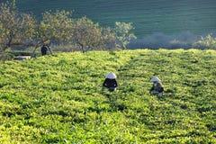 Фермеры выбирая бутоны чая под славными sunlights Стоковые Изображения RF