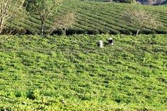 Фермеры выбирая бутоны чая Стоковая Фотография RF