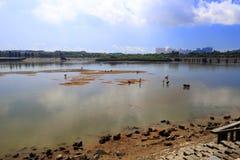 Фермеры выбирая вверх clam в заливе Стоковое Изображение