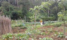 Фермеры в аграрных краях в Ambegoda Стоковые Фотографии RF