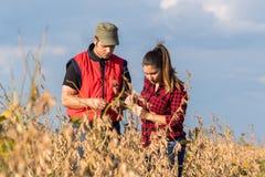 Фермеры в полях сои перед сбором стоковое изображение rf