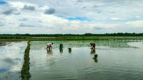 Фермеры женщин засаживая забор риса стоковое изображение rf