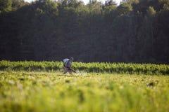 Фермеры используемые работником идут распылить гербициды на рисовых полях в сельском районе рано утром стоковая фотография