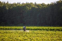 Фермеры используемые работником идут распылить гербициды на рисовых полях в сельском районе рано утром стоковая фотография rf