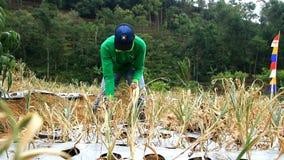 Фермеры и правительство сделать первый сбор из семян чеснока сток-видео