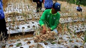 Фермеры и правительство сделать первый сбор из семян чеснока акции видеоматериалы