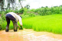 Фермеры и рис Стоковая Фотография RF