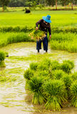 Фермеры подготавливая саженцы риса стоковое изображение rf
