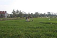 фермеры работают в полях риса стоковое фото rf