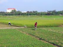 Фермеры работая в поле арахиса стоковое изображение