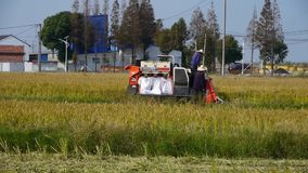 Фермеры работая жатку, азиатские золотые рисовые поля, ожидание для сбора акции видеоматериалы