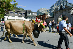 Фермеры с табуном коров на ежегодном transhumance на Engelb Стоковая Фотография