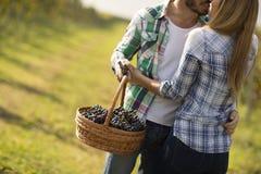 Фермеры человека и женщины жать виноградины в винограднике Стоковое фото RF