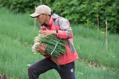 Фермеры Dalat сжали луки Стоковое Фото
