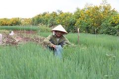 Фермеры Dalat сжали луки Стоковые Фотографии RF